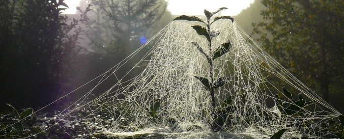 Sheet_weaver_spider_web