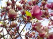 http://www.torange.us/Plants/Flowers/Magnolia-Blossoms-28387.html - Creative Commons